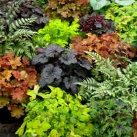 5 Heuchera Premium Luxury Mixed