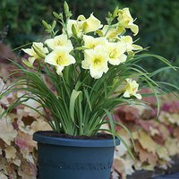 3 Hemerocallis Fragrant Returns