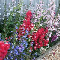 6 Penstemon Mixed