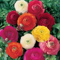 25 Giant Ranunculus Asiaticus Mixed 7cm+