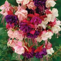 6 Giant Trailing Fuchsia Mixed