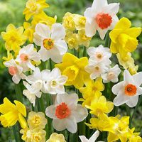 25 Fragrant Daffodils Mixed