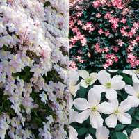 3 Clematis montana Collection
