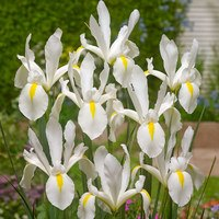 25 Dutch Iris White Excelsior 7/8