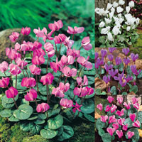 18 Cyclamen Collection