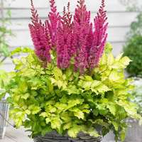 3 Astilbe Thunder and Lightning