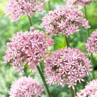 5 Allium Pink Jewel