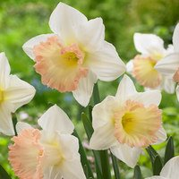 15 Narcissi British Gamble