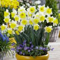 15 Narcissi Cornish King