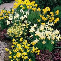 Narcissi Dwarf Rockery Mixed 8/10cm