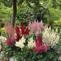 4 Astilbe Collection