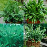 4 Hardy Fern Collection