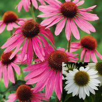 24 Echinacea purpurea Collection