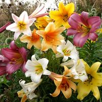 5 Trumpet Lilies Mixed