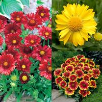 6 Gaillardia Collection