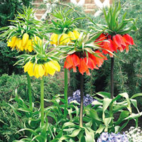 Fritillaria Imperialis Mixed