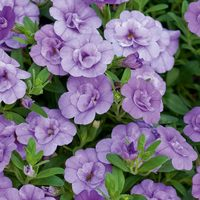 6 Calibrachoa Calita Double Blue