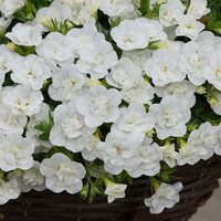 6 Calibrachoa Double Can Can White