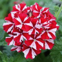 6 Verbena Samira Deep Red Star