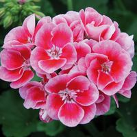 6 Geranium Grandeur Power Rose Splash