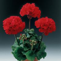 Geranium Grandeur Power Red