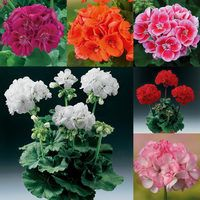 Geranium Grandeur Power Collection