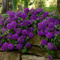 6 Verbena Endurascape Purple