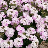 6 Verbena Endurascape White Blush