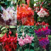 30 Award Winning Fuchsia Collection