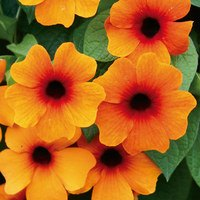 6 Thunbergia alata Sunny Susy 'Orange Beauty'
