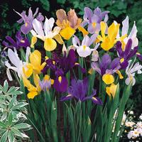 50 Dutch Iris Mixed