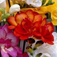 15 Giant Double Freesia Red