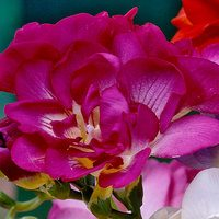 15 Giant Double Freesia Pink