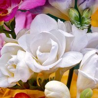 15 Giant Double Freesia White