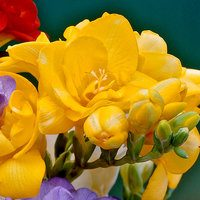 15 Giant Double Freesia Yellow