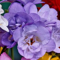 15 Giant Double Freesia Blue