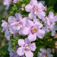 Bacopa Scopia Double Pink