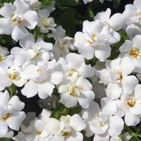 6 Bacopa Scopia Double White
