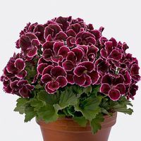 6 Geranium Aristo Black Beauty