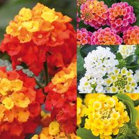 12 Lantana Collection