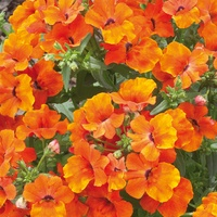 6 Nemesia Lyric Orange