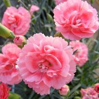 6 Dianthus Scent First Romance