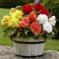 5 Begonia Superba Mixed