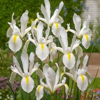 25 Iris Dutch White Excelsior