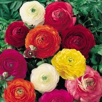 25 Ranunculus asiaticus Mixed