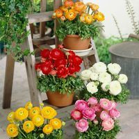 150 Ranunculus Tomer Collection