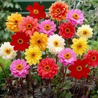 5 Dahlia Bishop Mixed (Dark Leaf)
