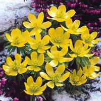25 Eranthis in the Green (Winter Aconites)