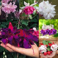 18 Giant Trailing Fuchsia Collection