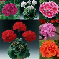 18 Geranium Grandeur Collection